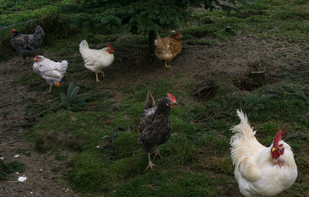 chiken: free-range chiken. hens cock Stock Photo