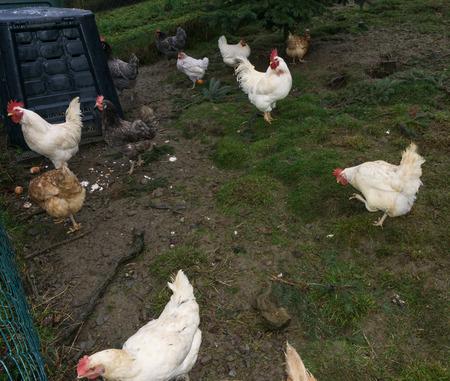 pullet: free-range chiken. hens cock Stock Photo