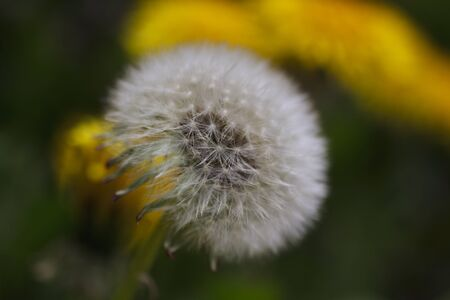 Detail of dandelion with yellow flowers and green at background. Stock Photo