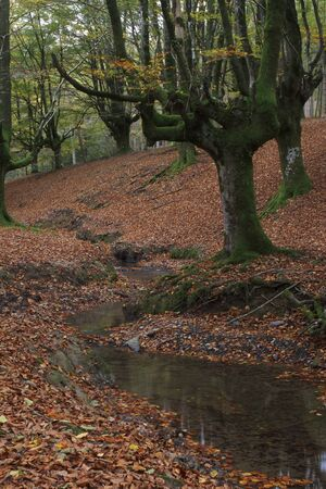 Beech forest in Gorbea Natural Park