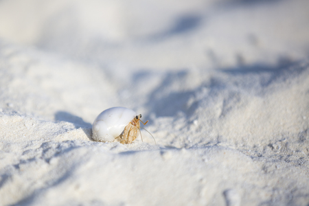 Hermit crab walking in the sand. Both the sand and the crab are purely white.