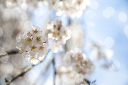 Spring Sakura Blossoms in branches.