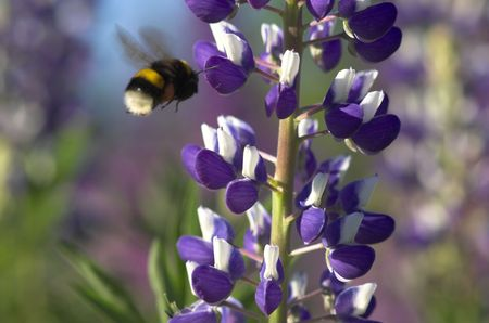 Lupin and Bumblebee Stock Photo - 3180180