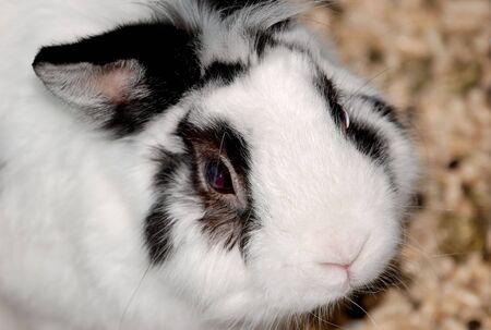 hermelin: A close-up of a rabbit looking up morosely at you