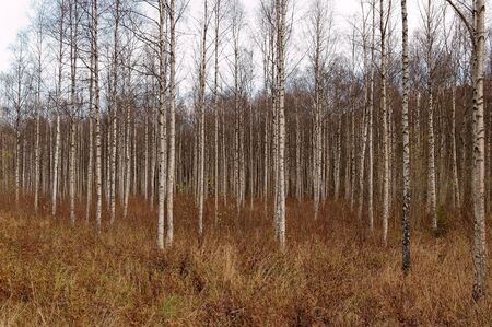 thickets: A thicket of birch trees during autumn.   Stock Photo