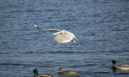 swept: A large seagull, flying low over a group of ducks, wings swept forward dramatically.   Stock Photo
