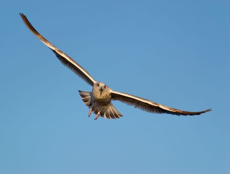 A seagull in a spreadwinged flight set against blue sky, lit by the setting sun.   Stock Photo