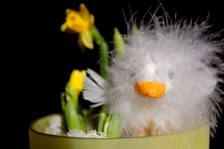 endearing: A feathery white Easter chicken doll with yellow mini-narcissus flowers in a pot. On black background, face on.   Stock Photo
