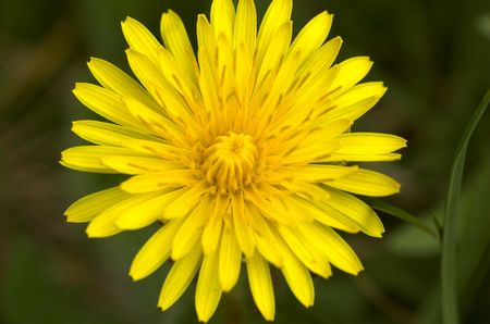 A close-up image of a dandelion flower, taken from top.