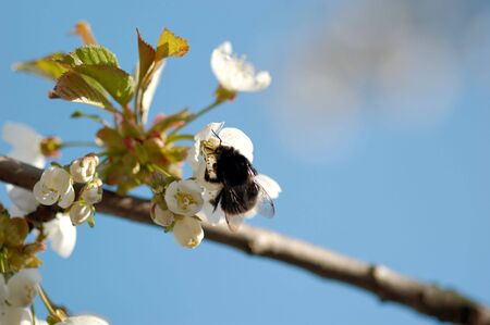 A macro image of a bumblebee drinking nectar from a cherry blossom. Stock Photo - 3263587