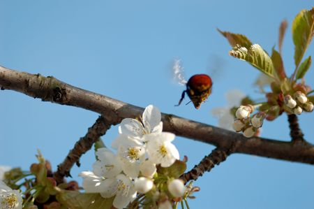 1:1 macro shot of a bumblebee from behind, flying from a cherry blossom, flozen in mid-flight. Shallow DOF with focus on the insect's snout. Stock Photo - 3263617