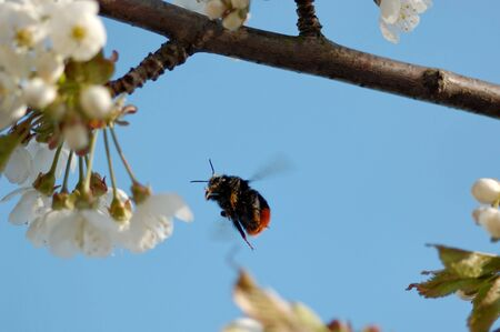 1:1 macro shot of a bumblebee, aiming for a cherry blossom, flozen in mid-flight.   Stock Photo - 3263576