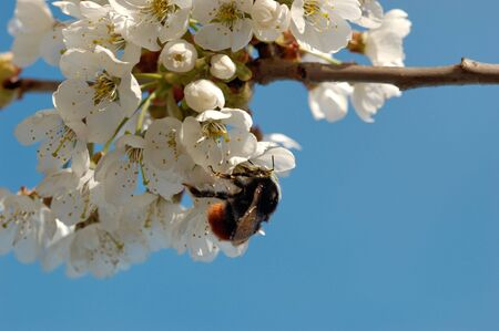 the antennae: A macro image of a bumblebee drinking nectar from a cherry blossom. Shallow DOF with focus on the insects eye and antennae   Stock Photo