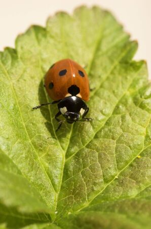 Macro image of a ladybird on a blackcurrant leaf