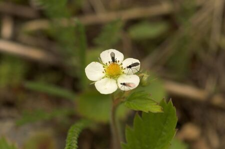 occupying: Three small flies sitting on a wild strawberry flower, each occupying its own petal.