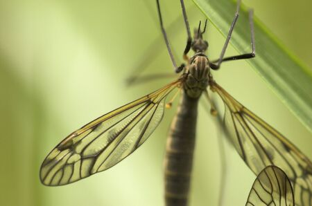 mosquitos: A mosquito-like insect - cranefly. Focus is on the wing and the back of the insect.   Stock Photo