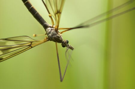 A mosquito-like insect - cranefly. The focus is on the eyes. Stock Photo - 3263599