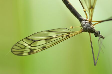 A mosquito-like insect - cranefly. Focus is on the wing and the eyes.   Stock Photo - 3263604
