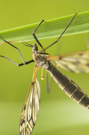 A mosquito-like insect - cranefly. Focus is on the eye and a part of the wing Stock Photo - 3263624