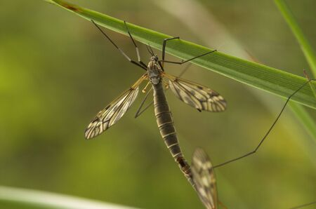 A mating female cranefly on a grass straw Stock Photo - 3263622
