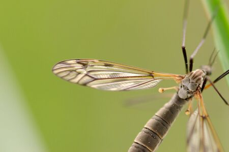 A mosquito-like insect - cranefly. Focus is on a part of the wing and the back of the insect. Stock Photo - 3263569