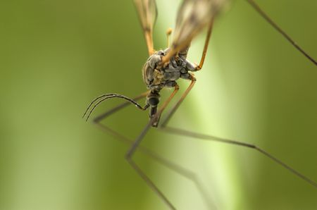 A mosquito-like insect - cranefly. Stock Photo - 3263613