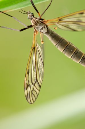 A mosquito-like insect - cranefly. Focus is on the wing.