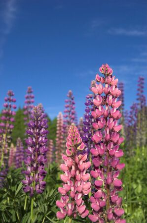 lupins: Pink and violet lupins against deep blue sky   Stock Photo