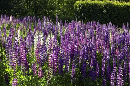 A field with white and violet lupins.