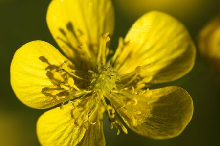 A macro image of the yellow winter aconite flower