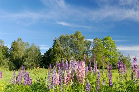 polarised: Green field, deep blue sky, and colourful lupins in the foreground. With polarised sky.   Stock Photo