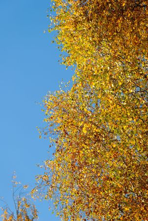 Golden birch on blue sky, lit by the setting sun.