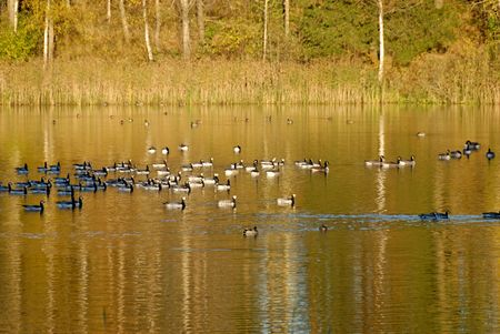 A flock of Canadian Geese swimming on a lake, coloured golden by autumn leaves.