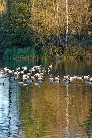 A flock of Canadian Geese on a lake, cutting across reflection of a birch tree.   Stock Photo