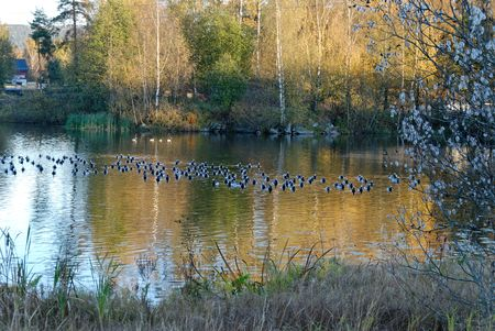 A lake in autumn with reflections and a flock of Canadian Geese