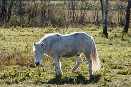 A white horse, disturbed from eating.