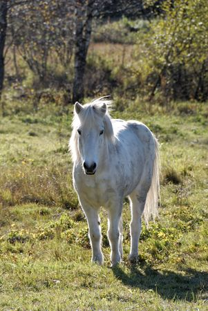 A white horse, looking at the camera.
