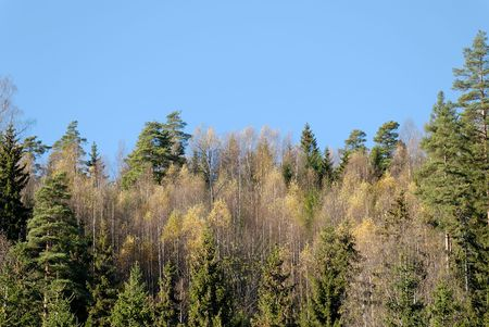 Yellow Birches, green firs and pines and blue sky.