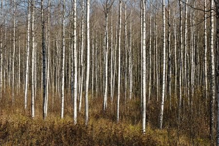 A thicket of birch trees during autumn.   Stock Photo