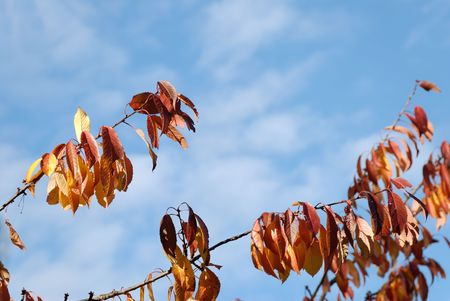 Orange cherry leaves and blue sky. Copy space.   Stock Photo