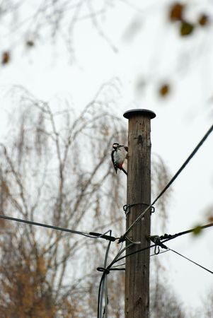 A woodpecker, feeding on telephone pole one early cloudy morning.