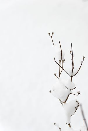 Jasmin bush twigs protruding from the snow with snow on them.