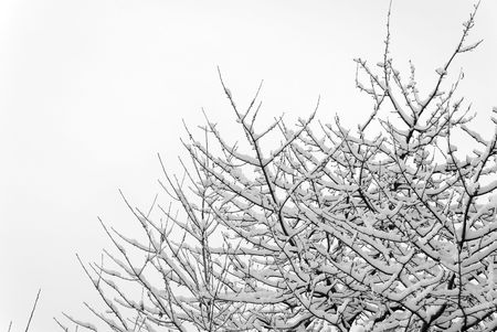 Cherry tree crown covered with snow. Copy space.   Stock Photo