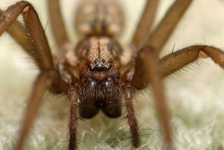 Extreme 2:1 macro of a spider, face on. Depth of field covers the eyes and the pincers.   Stock Photo