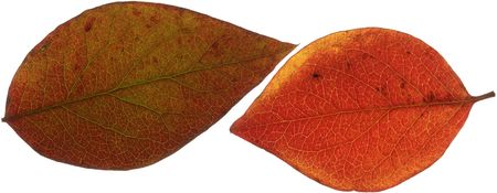 Two red autumn leaves, scanned with backlighting.   Stock Photo