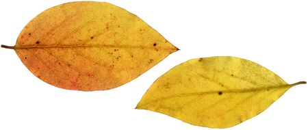 Two yellow autumn leaves, scanned with backlighting.