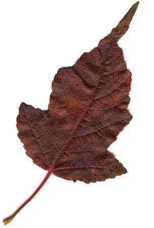 Hi-res scanned image of an oak leaf   Stock Photo