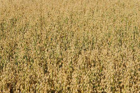 haver veld: Het veld bijna rijp haver