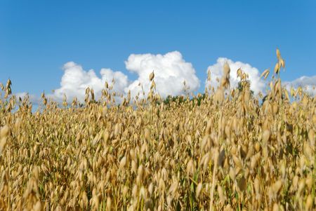 Oat field against blue sky and some clouds  Stock Photo