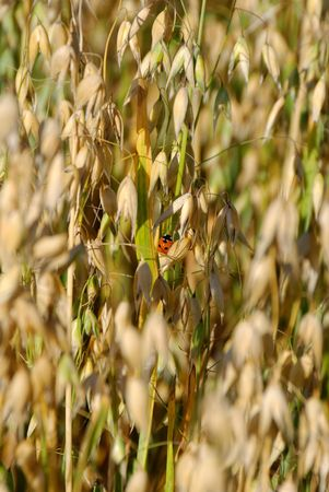 Small ladybird sitting on oat straws